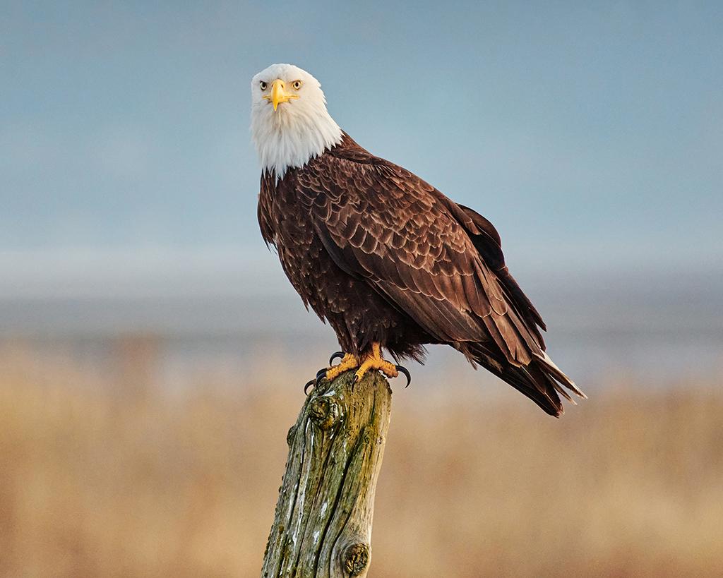 Eagle - General Michael Flynn