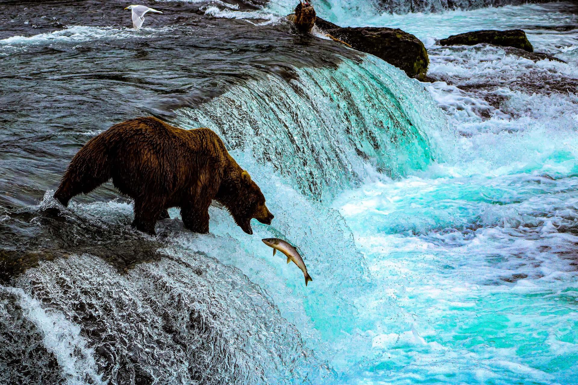 Grizzly at Katmai National Park, King Salmon, Alaska