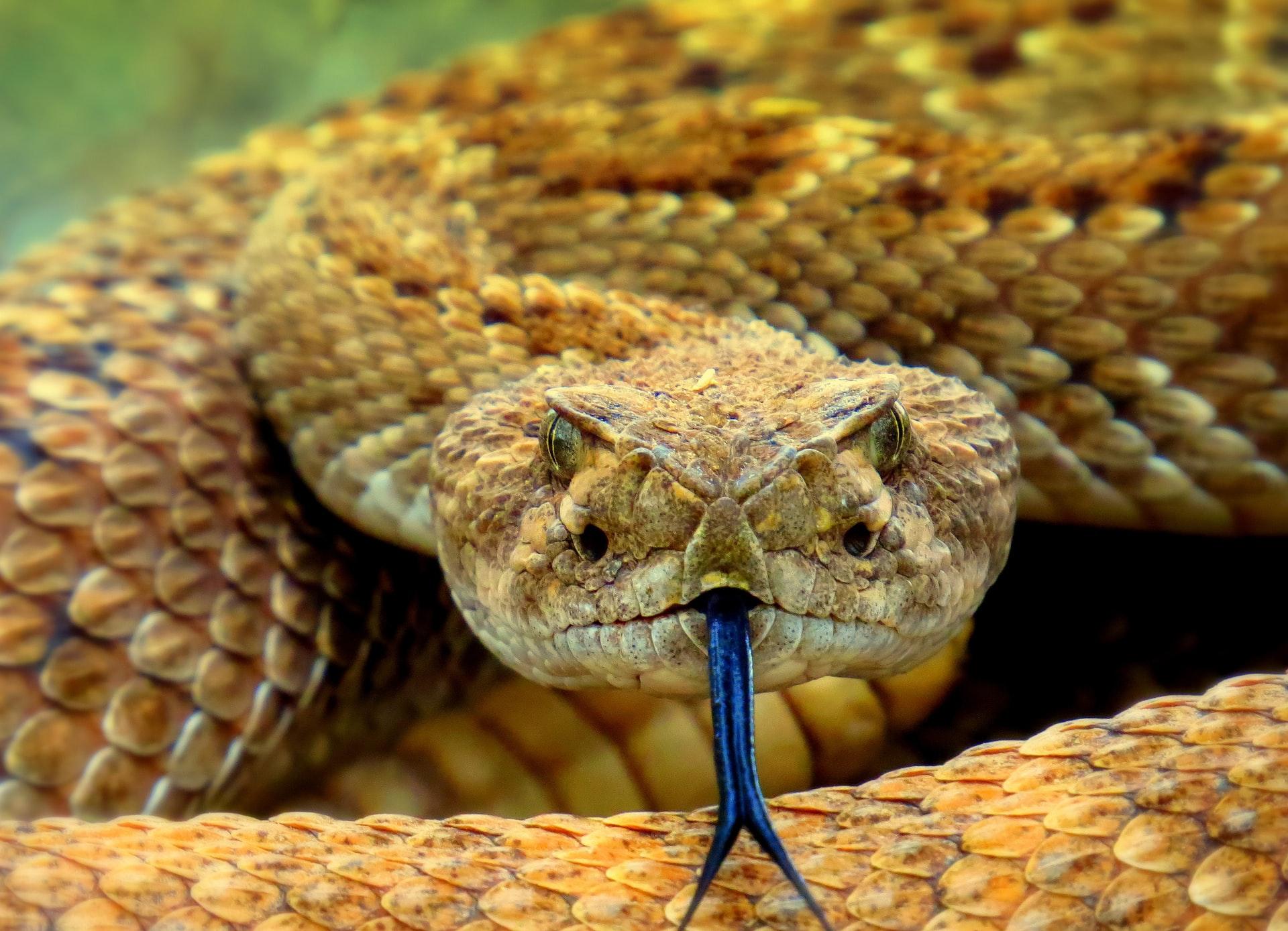 Arizona Rattlesnake