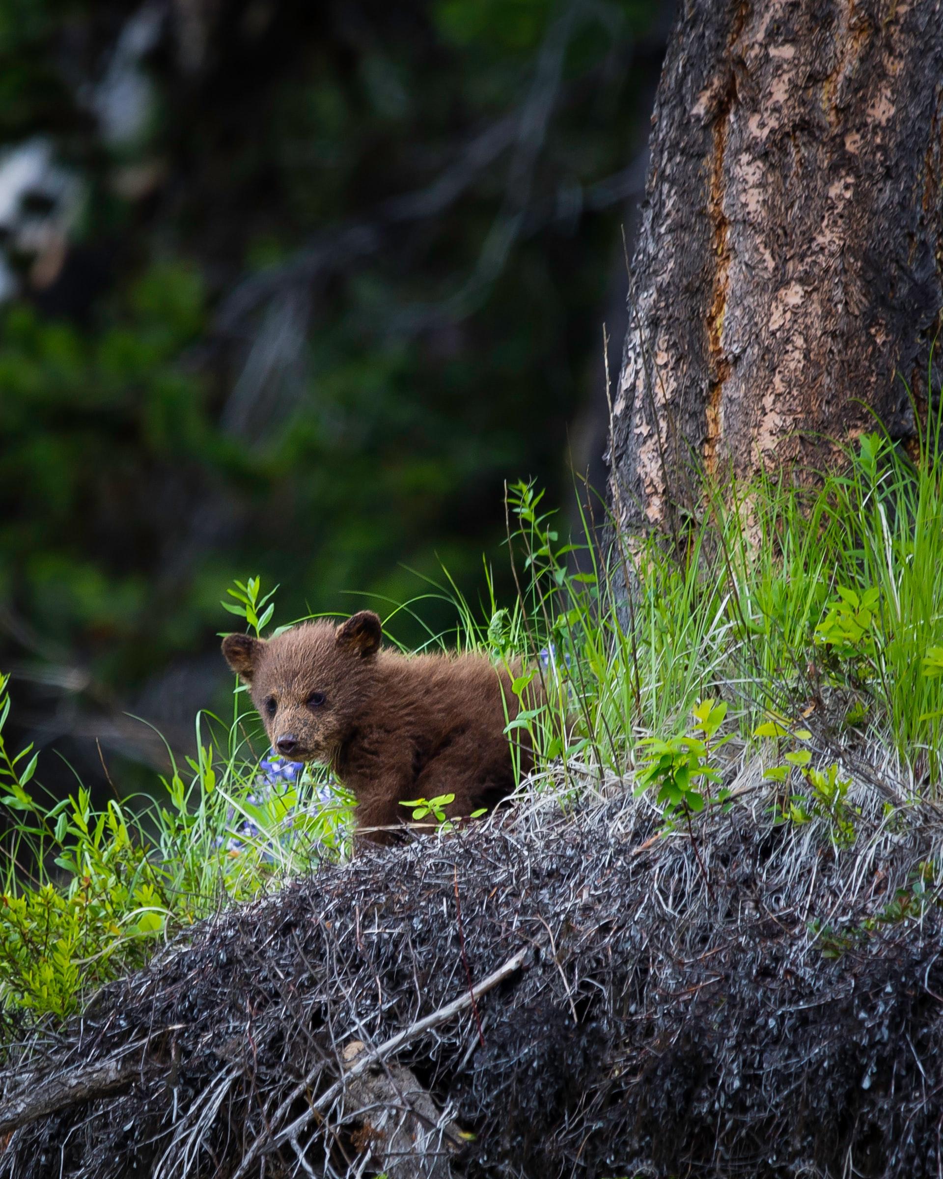 Manning Park BC bear cub